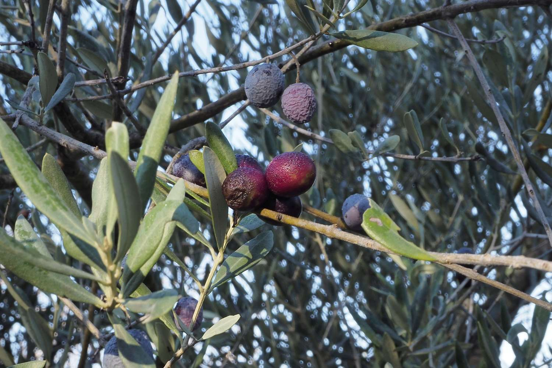 Olives givrées _c270210