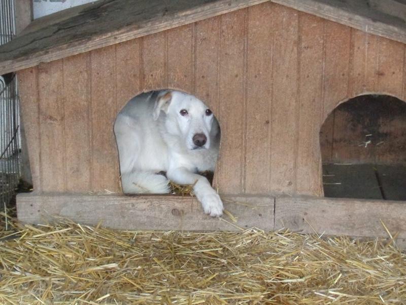 TILGA - x labrador blanc 8 ans   (4 ans de refuge) - Asso Arche d'Eternité - Lenuta (Roumanie)  15181110