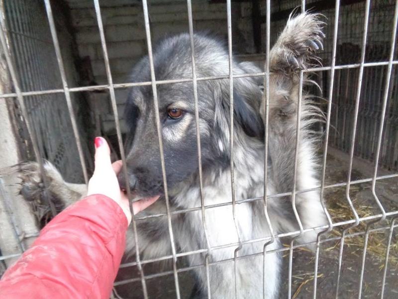 SARRA, croisée berger des Carpates née en 2014 - Parrainée par Dankesori -SC-R-SOS- 15267610
