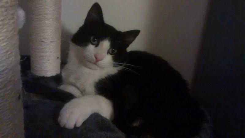 KIT-KAT chat noir et blanc 1 an FIV+ (ADPK 35) Kk_110
