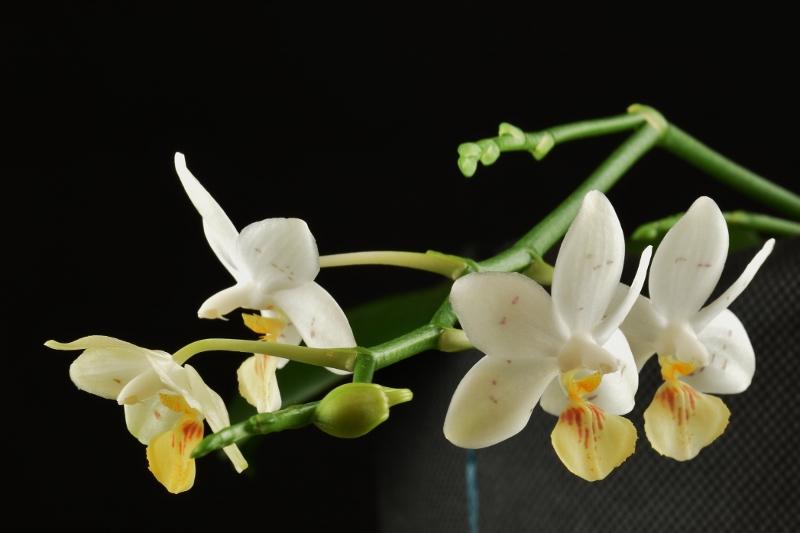 Phalaenopsis lobbii x tetraspis (Yaphon Lobspis Circle) Nr_60310