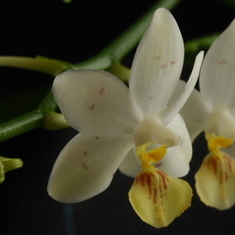 Phalaenopsis lobbii x tetraspis (Yaphon Lobspis Circle) Nr_60311