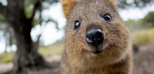 Animaux  peu connus d'Australie : L'adorable  quokka et d'autres ... 15835910