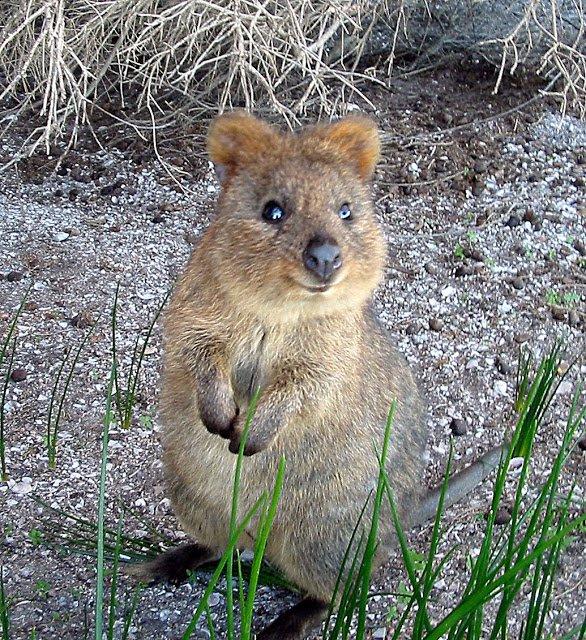 Animaux  peu connus d'Australie : L'adorable  quokka et d'autres ... 3f814910
