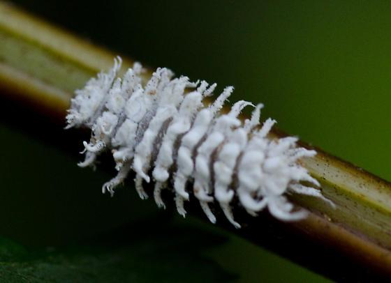 Insectes bien étranges   :  7zdlqz10