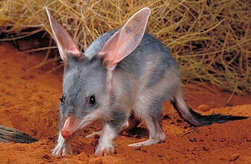 Animaux  peu connus d'Australie : L'adorable  quokka et d'autres ... Bilby-10