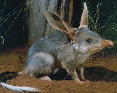 Animaux  peu connus d'Australie : L'adorable  quokka et d'autres ... Bilby-11