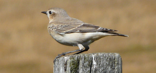 Oiseaux de Bretagne Traque10