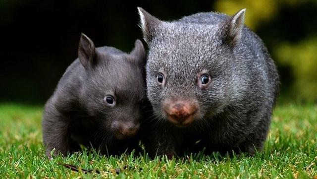 Animaux  peu connus d'Australie : L'adorable  quokka et d'autres ... Wombat10