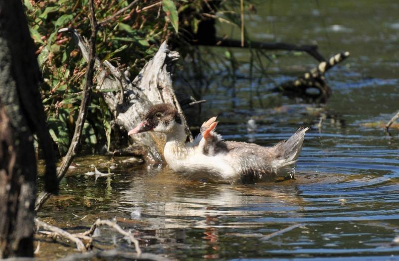 Bébé canard à identifier SVP Canard10