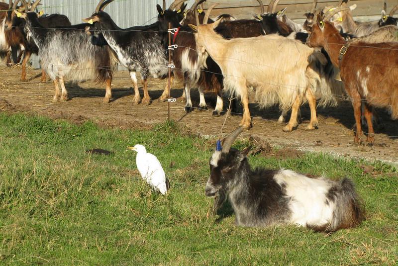 Héron garde-chèvres Hyron_10