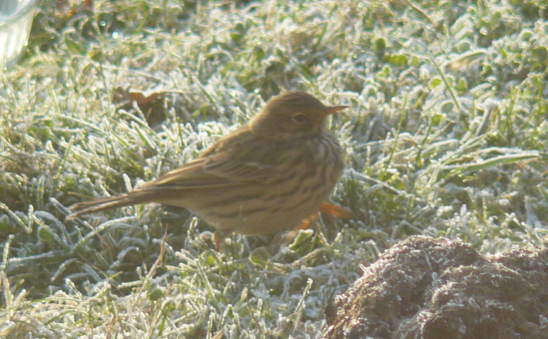Grive mauvis ? Pipit10
