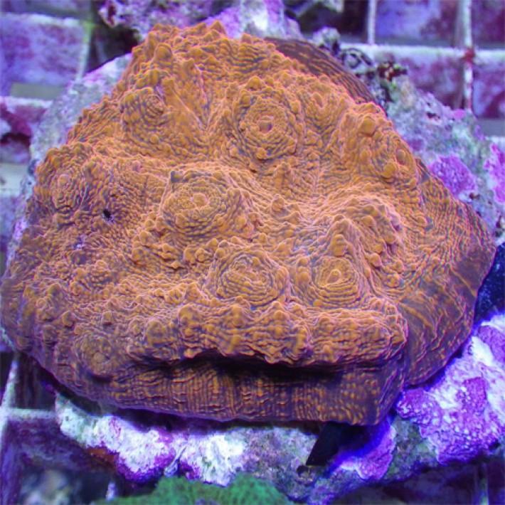 Pour Zébra (corail rouge) Mycedi10