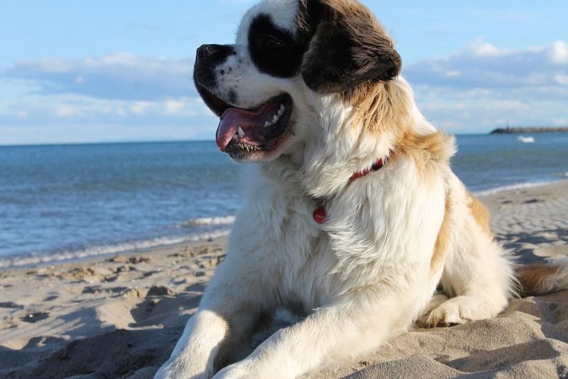Le Saint-Bernard Dog-7210
