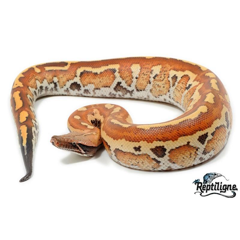Python brongersmai E33c6a10