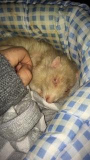 Rat en fin de vie.  14962510