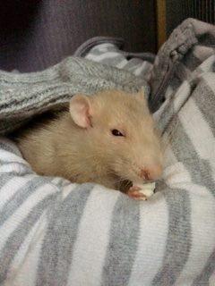 Rat en fin de vie.  14962810