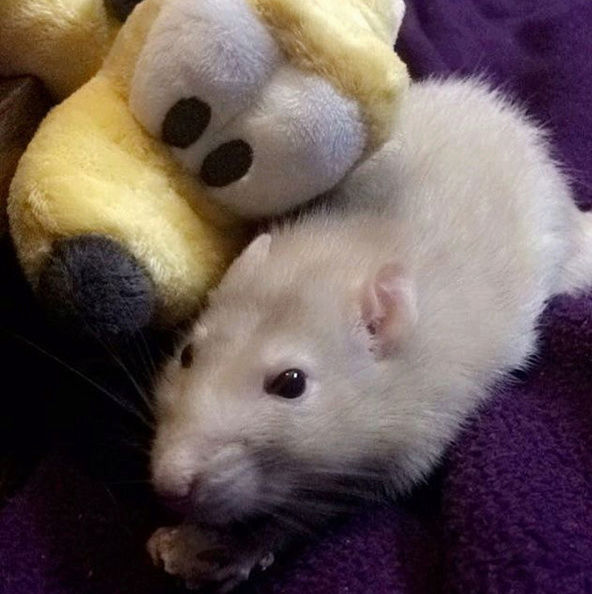 Doudou est parti au paradis des rats..  Captur10