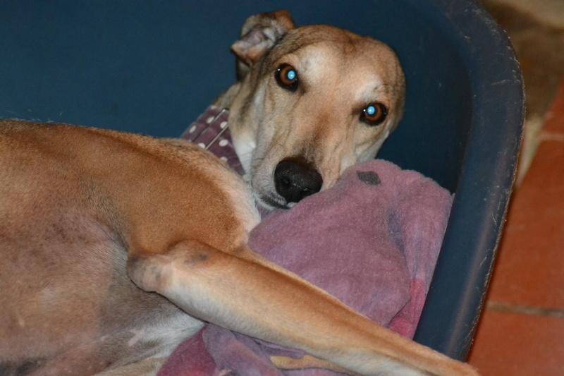 TESON, galgo marron/ gris, 4 ans à l'adoption  Scooby France Adopté - Page 2 Dsc_0020