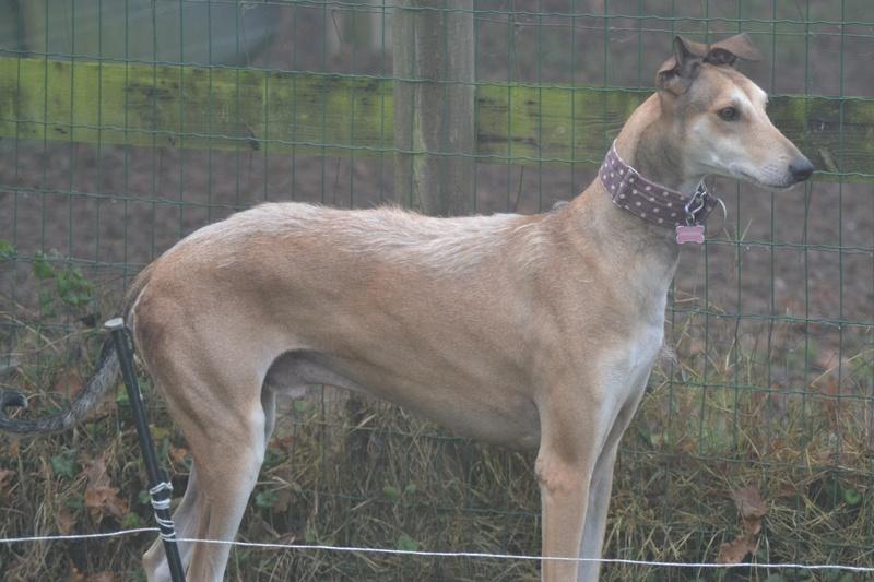 TESON, galgo marron/ gris, 4 ans à l'adoption  Scooby France Adopté - Page 4 Dsc_0026