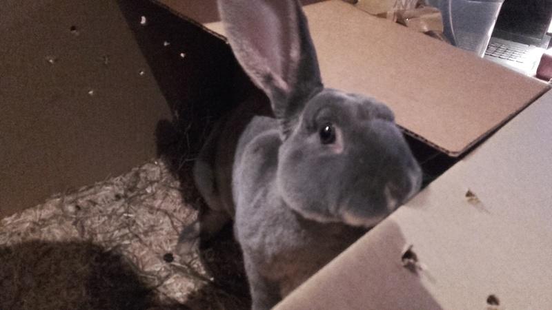 Les Rex de l'Ermite -- une histoire de lapin 20161110