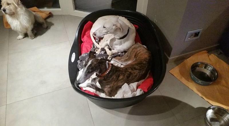Evita petite galga creme de 2013 à l'adoption Refuge de Scooby Adoptée  15726210