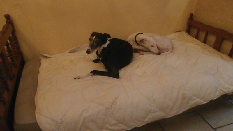Luna, galga noire et blanche 7 ans Adoptée  P1180010