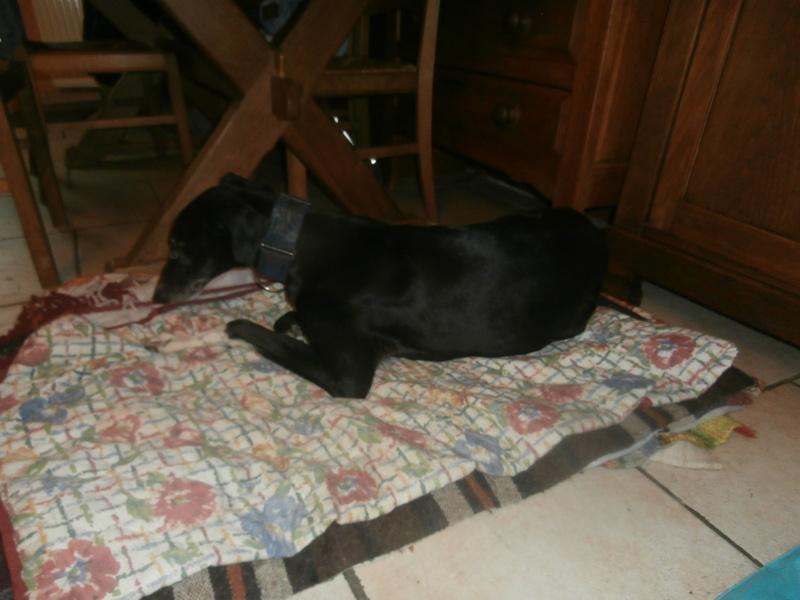 Carlos, galgo noir et un peu de blanc, 4 ans. Réservé P2070028