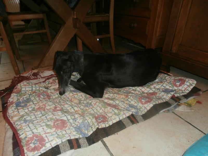 Carlos, galgo noir et un peu de blanc, 4 ans. Réservé P2070030