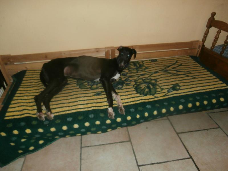 Carlos, galgo noir et un peu de blanc, 4 ans. Réservé P2070033