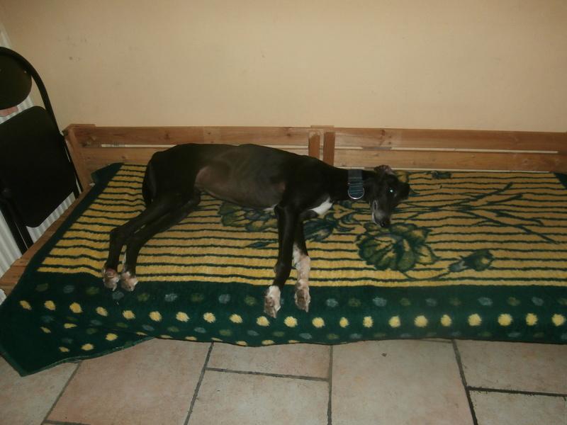 Carlos, galgo noir et un peu de blanc, 4 ans. Réservé P2070034