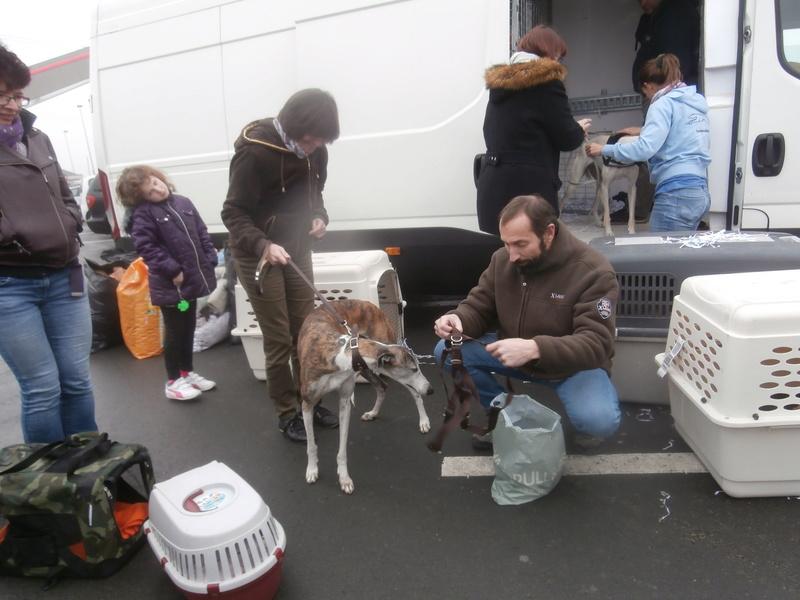 Belinda, galga bringée et blanche, 6 ans/ refuge de scooby à l'adoption Adoptée  P2070036