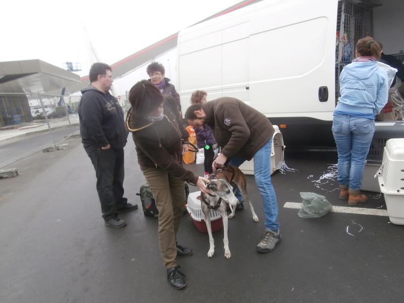 Belinda, galga bringée et blanche, 6 ans/ refuge de scooby à l'adoption Adoptée  P2070037