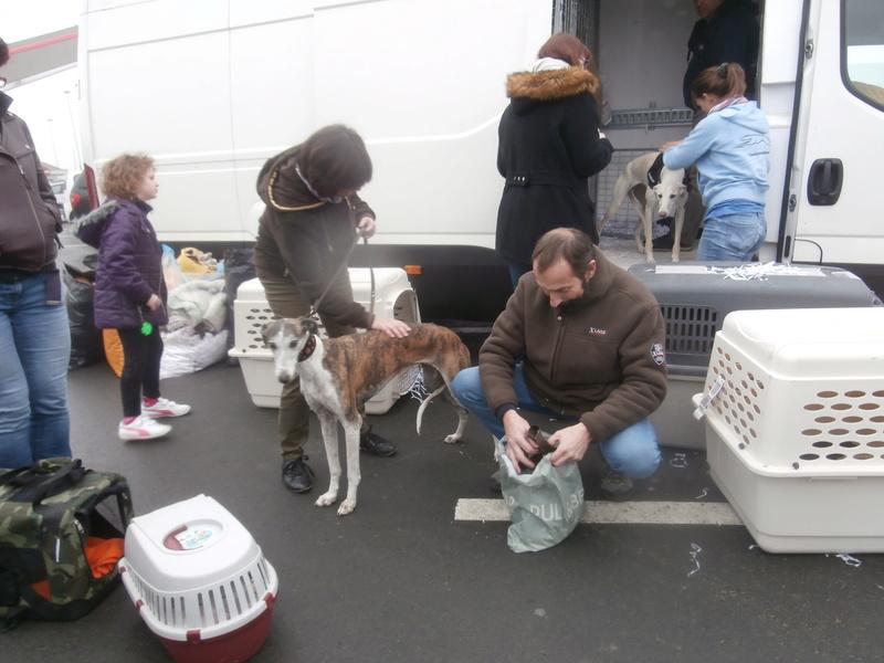 Belinda, galga bringée et blanche, 6 ans/ refuge de scooby à l'adoption Adoptée  P2070038