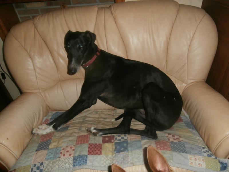 Carlos, galgo noir et un peu de blanc, 4 ans. Réservé P2120010