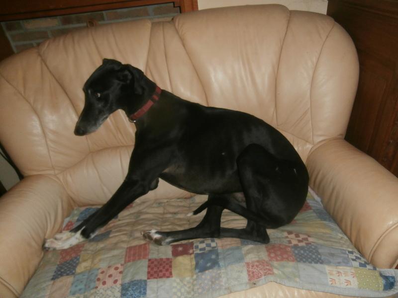 Carlos, galgo noir et un peu de blanc, 4 ans. Réservé P2120011
