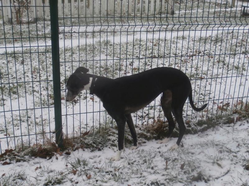 Luna, galga noire et blanche 7 ans Adoptée  P3020013