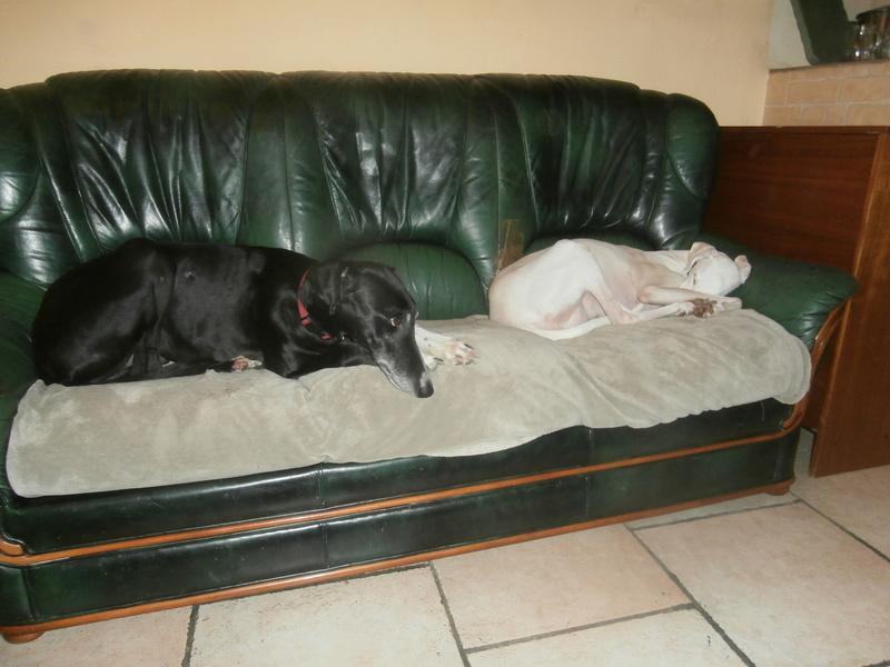 Carlos, galgo noir et un peu de blanc, 4 ans. Réservé - Page 2 P3040010