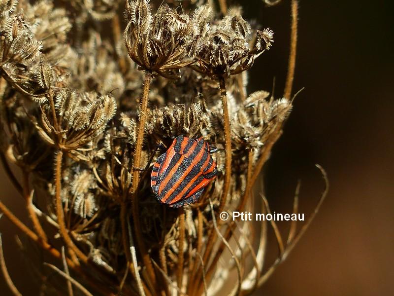 [16-Charente] Punaise arlequin - Graphosoma lineatum Copie_12