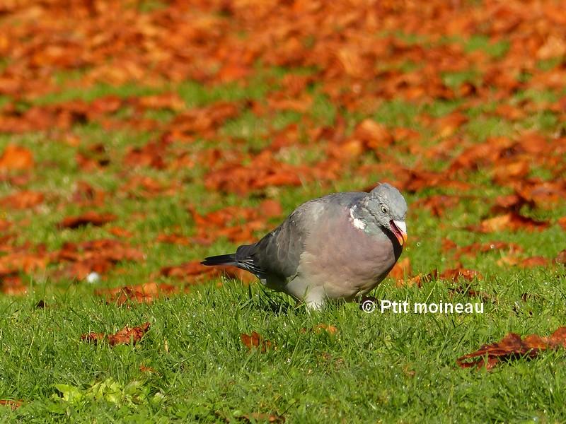 [16-Charente] Pigeon ramier Copie_17
