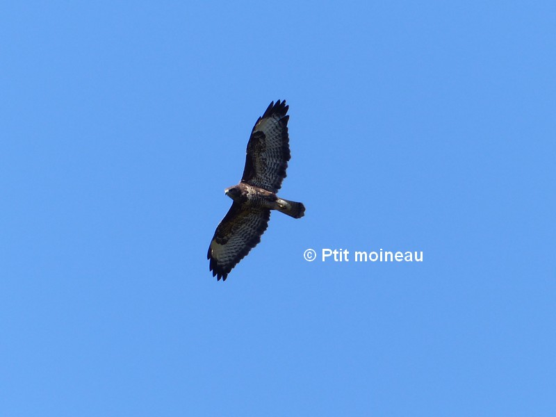 [16-Charente]  Buse variable  Copie_18