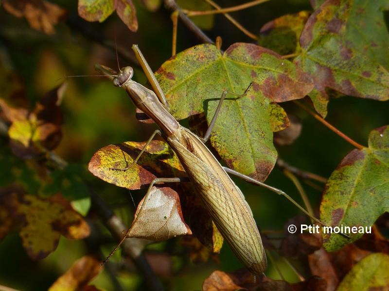 [16 - Charente] Mantes religieuses - Mantis religiosa Copie_19