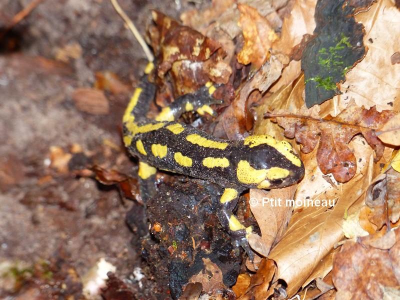 [16 - Charente] Salamandres tachetées - Salamandra salamandra Copie_29