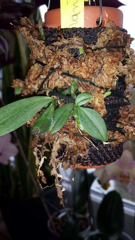 Pflege von Phalaenopsis auf Gießtöpfen 14914511