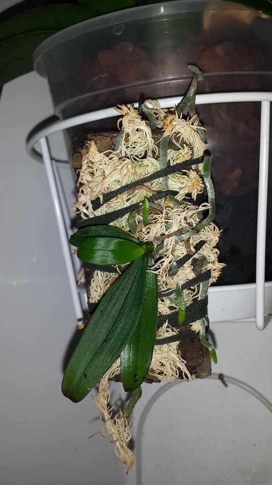 Pflege von Phalaenopsis auf Gießtöpfen 14937911