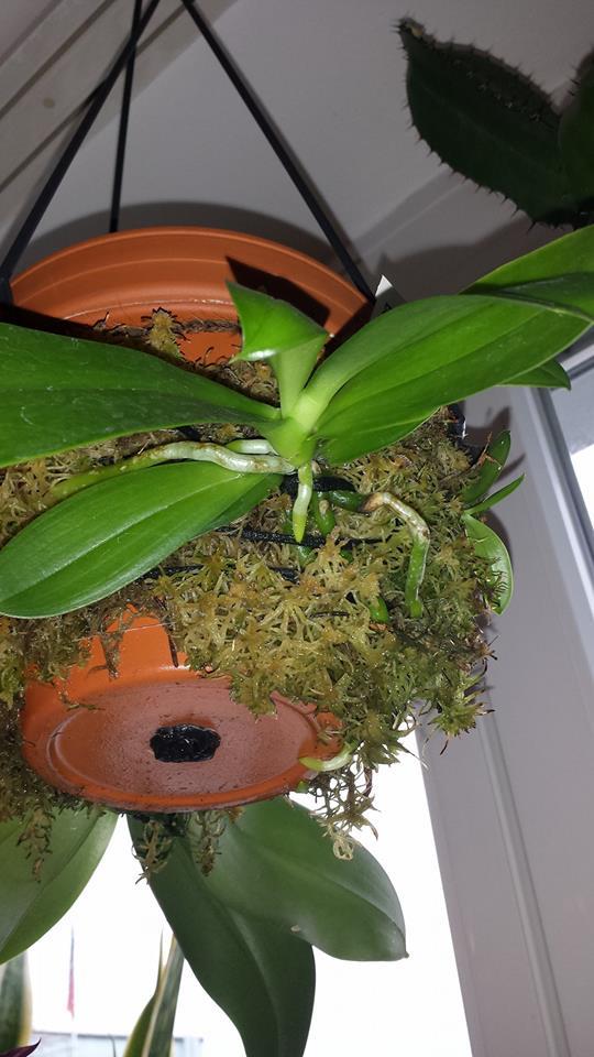 Pflege von Phalaenopsis auf Gießtöpfen 14958510