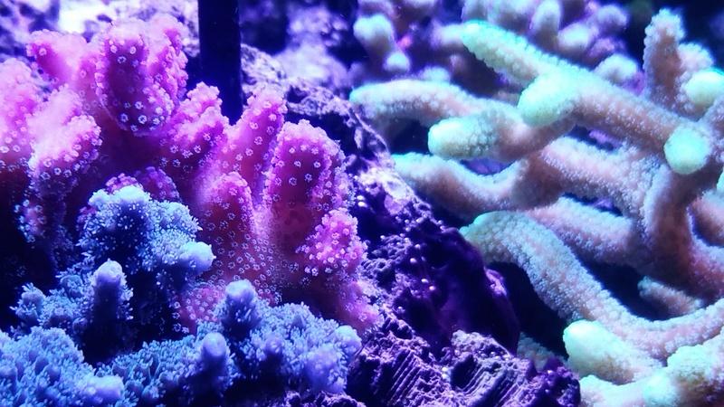 les polypes du shotreef  20170122