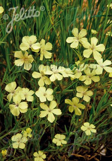Semis de Dianthus - Page 2 Dianth10