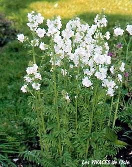 Semis de Polemonium Polemo10