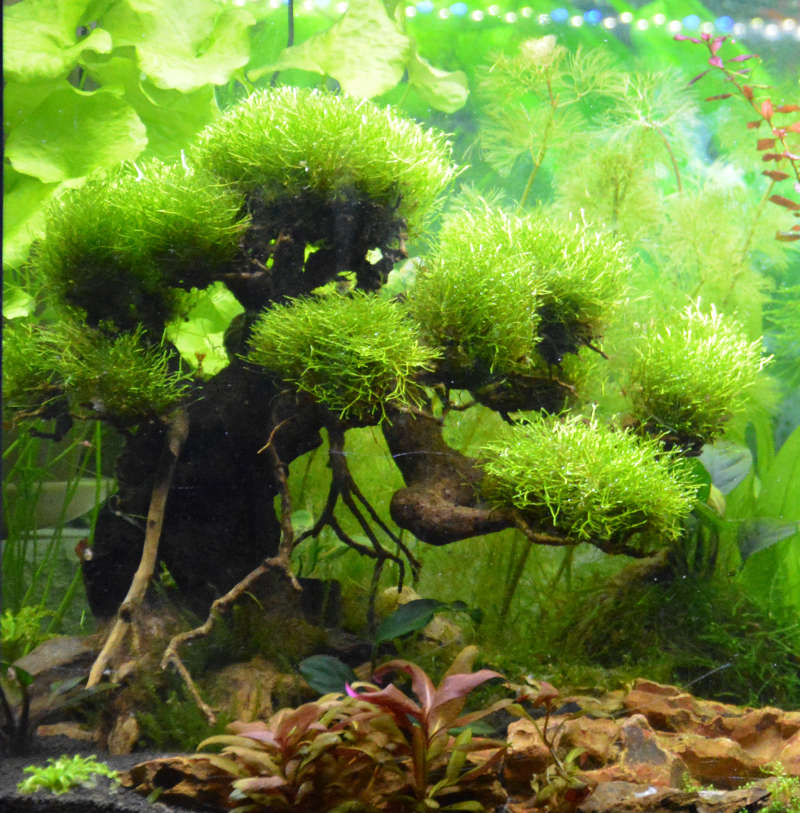 Le Christiany, l'aquarium pour les Guppys Bonsai12